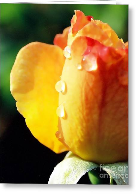 Dew On Rose Greeting Card