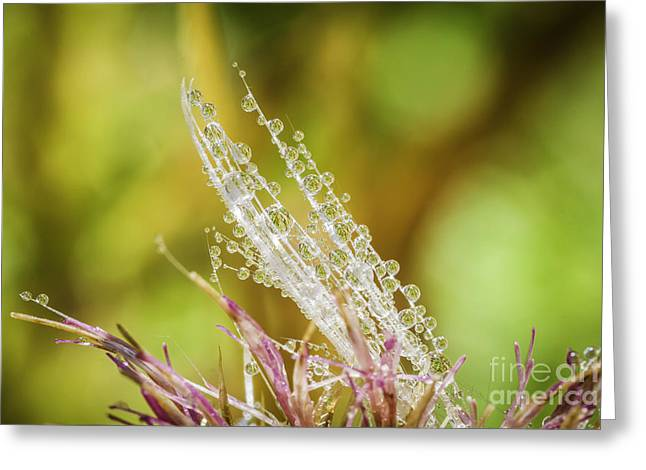 Dew On The Thistle Greeting Card by Mitch Shindelbower