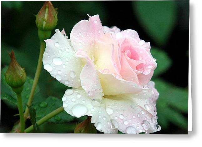 Dewy Rose Greeting Card by Paula Marie deBaleau