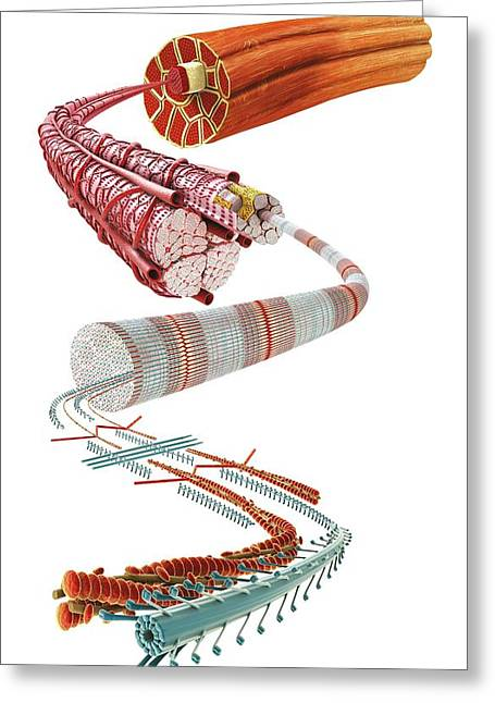 Diagram Of Muscle Structure Greeting Card by Dorling Kindersley/uig