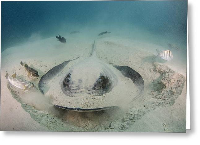 Diamond Stingray Digging In Sand Greeting Card by Pete Oxford