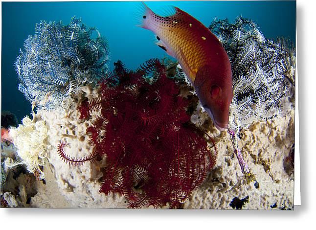 Dianas Hogfish Swimming Between Three Greeting Card by Steve Jones
