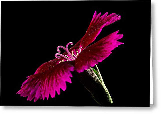 Dianthus Greeting Card