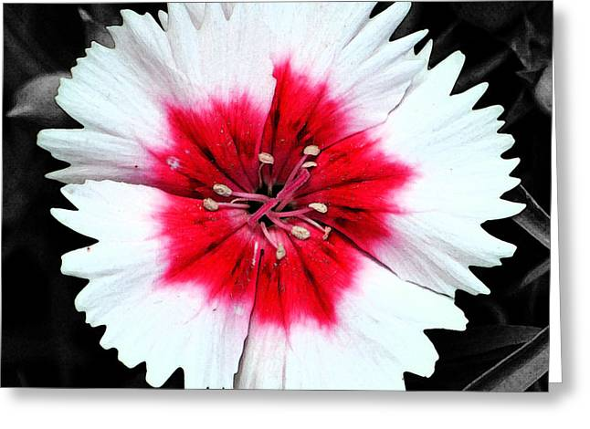 Dianthus Red And White Flower Decor Macro Square Format Fresco Color Splash Black And White Greeting Card
