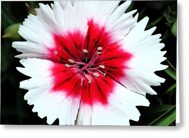 Dianthus Red And White Flower Decor Macro Square Format Fresco Digital Art Greeting Card