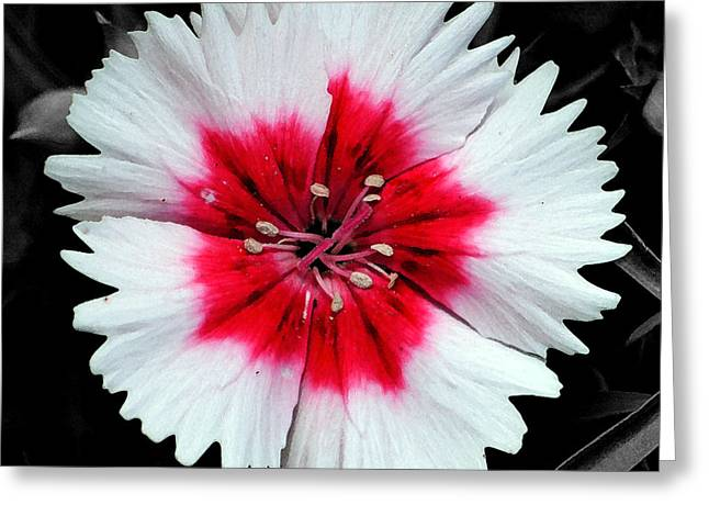 Dianthus Red And White Flower Decor Macro Square Format Watercolor Color Splash Black And White Greeting Card