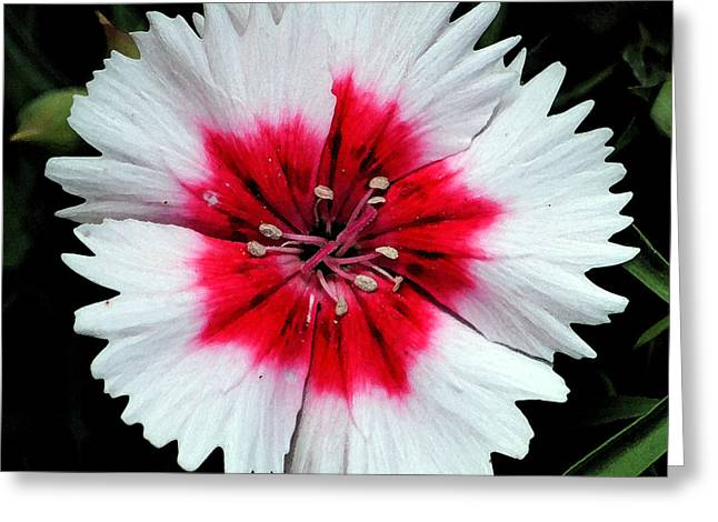 Dianthus Red And White Flower Decor Macro Square Format Watercolor Digital Art Greeting Card