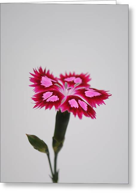 Dianthus Still Life Greeting Card by Robert  Moss