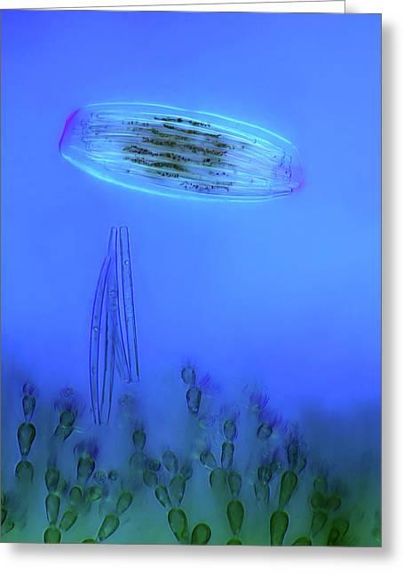 Diatoms And Red Algae Greeting Card by Marek Mis