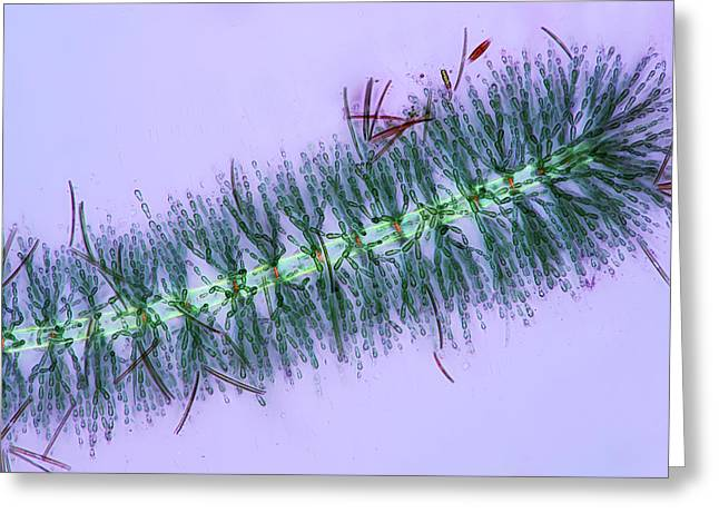 Diatoms On Red Algae Greeting Card