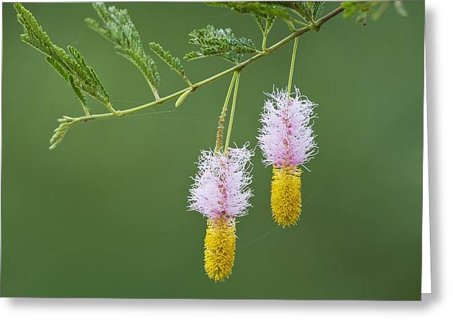 Dichrostachys Cinerea Flowers Greeting Card by Science Photo Library