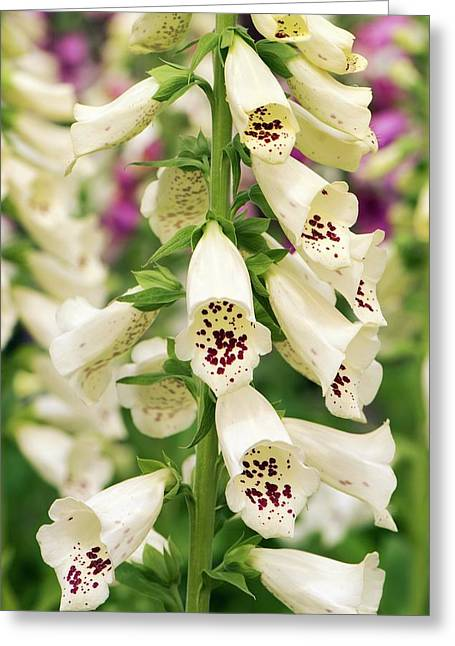 Digitalis Purpurea 'dalmatian Cream' Greeting Card by Adrian Thomas