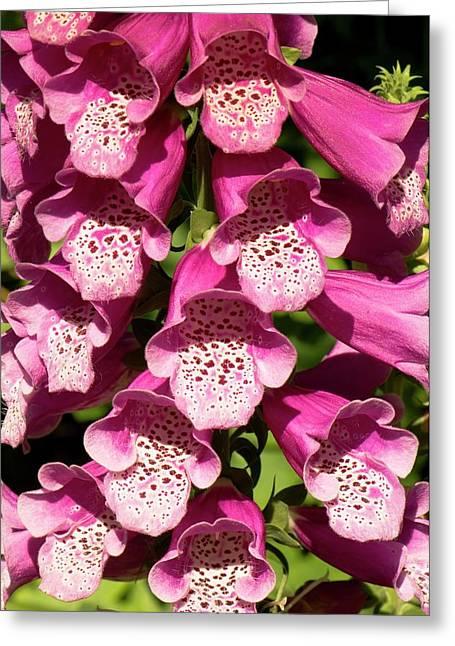 Digitalis Purpurea Excelsior Group Greeting Card