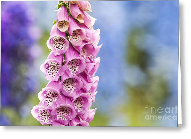Digitalis Purpurea Foxglove Greeting Card