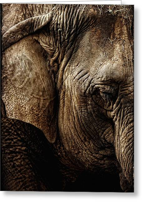 Dignity Of Age In Asian Elephant Study Greeting Card by Lincoln Rogers