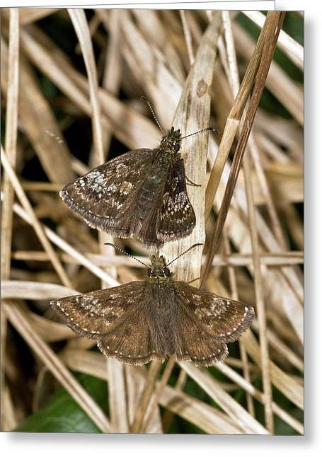 Dingy Skipper Butterflies Greeting Card