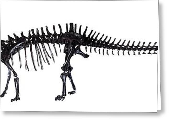 Diplodocus Dinosaur, Fossil Skeleton Greeting Card by Natural History Museum, London