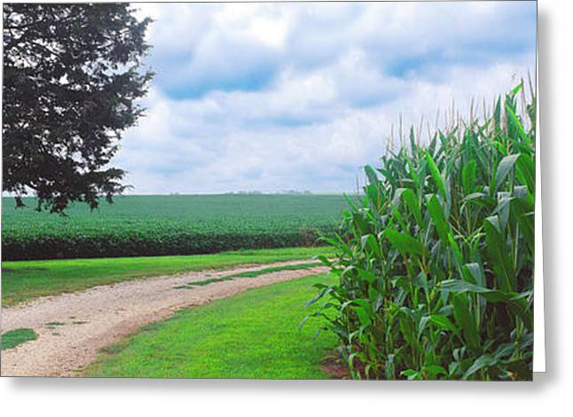Dirt Road Passing Through Corn Field Greeting Card by Panoramic Images