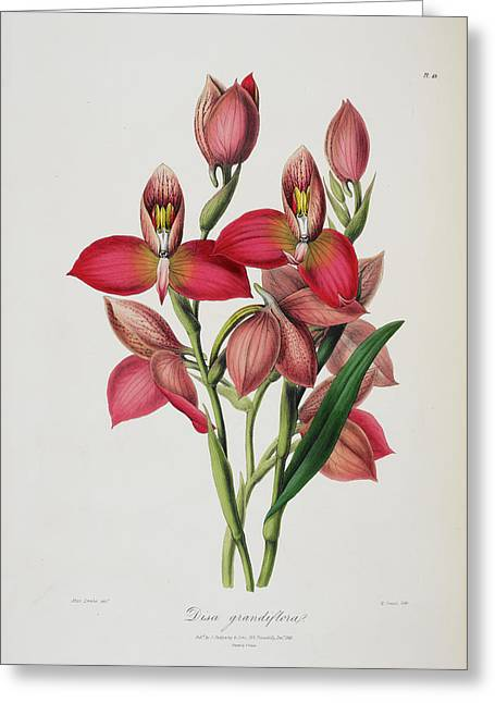 Disa Grandiflora Greeting Card by British Library
