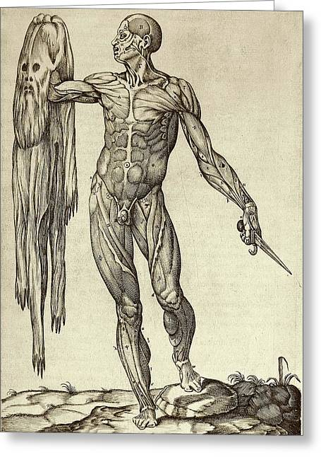 Dissected Cadaver With Flayed Skin Greeting Card by National Library Of Medicine