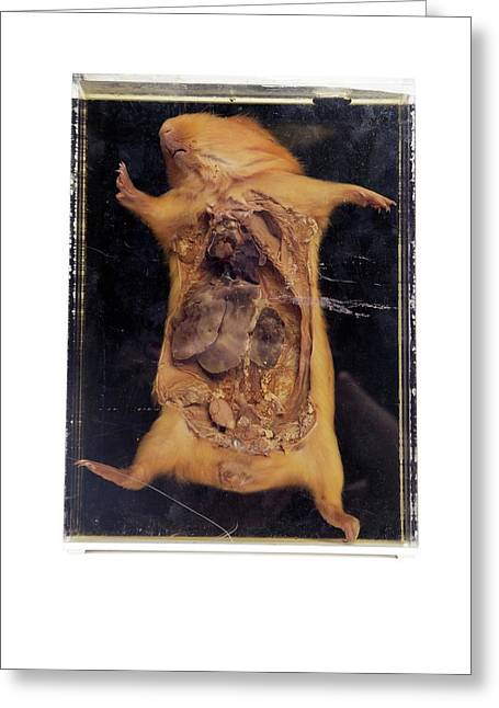 Dissected Guinea Pig Greeting Card