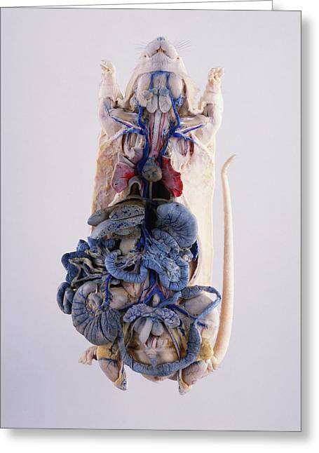 Dissected Lab Rat With Intestines Greeting Card