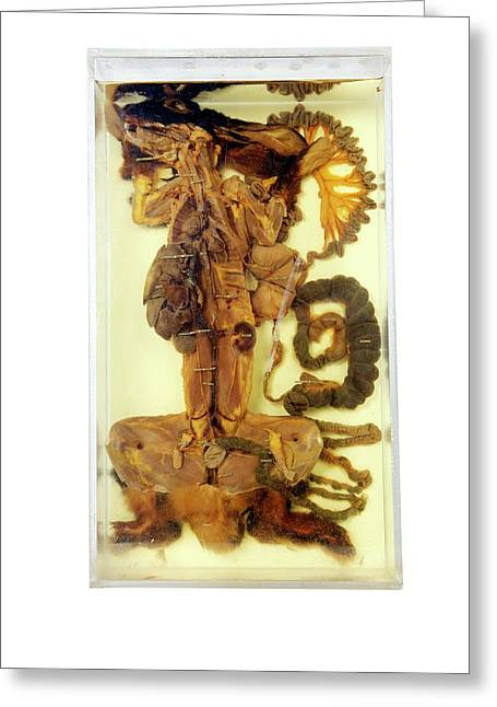 Dissected Male Rabbit Greeting Card