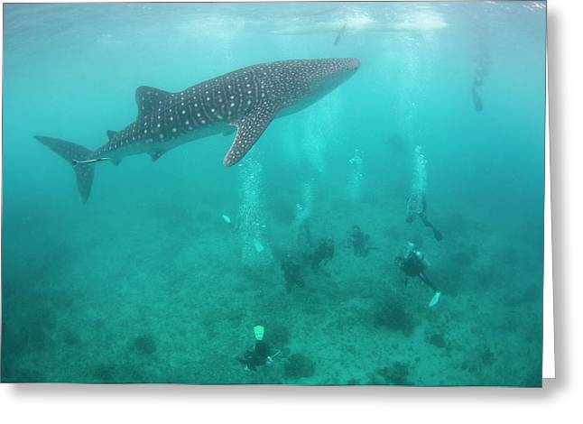 Divers And Snorklers With A Whale Shark Greeting Card