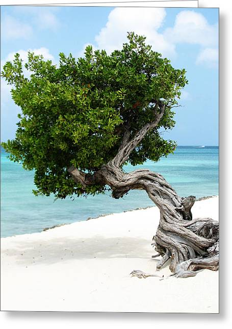 Divi Divi Tree In Aruba Greeting Card