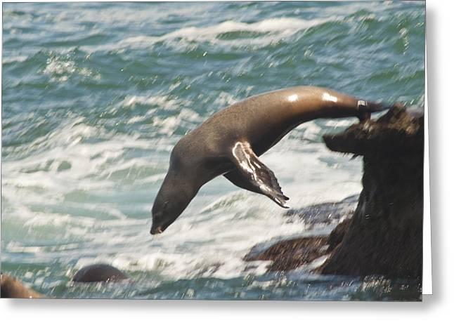 Diving Sea Lion Greeting Card by Daniel Hebard