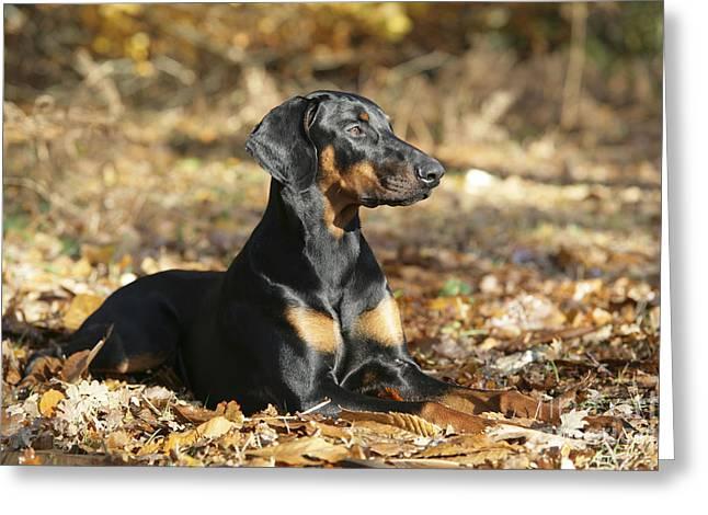 Dobermann Dog Greeting Card by John Daniels