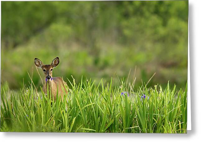 Doe Feeding On Prairie Iris, Grimes Greeting Card