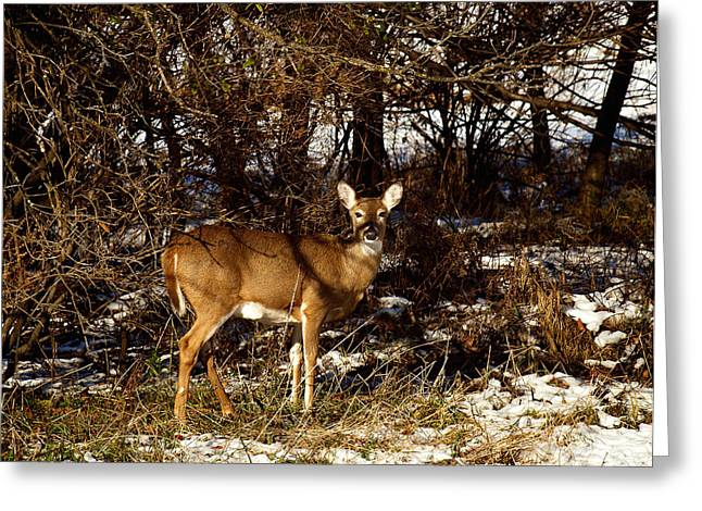 Doe From The Tangle Greeting Card by Thomas Young