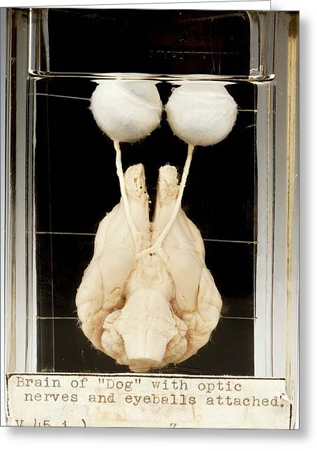 Dog Brain And Eyes Greeting Card by Ucl, Grant Museum Of Zoology