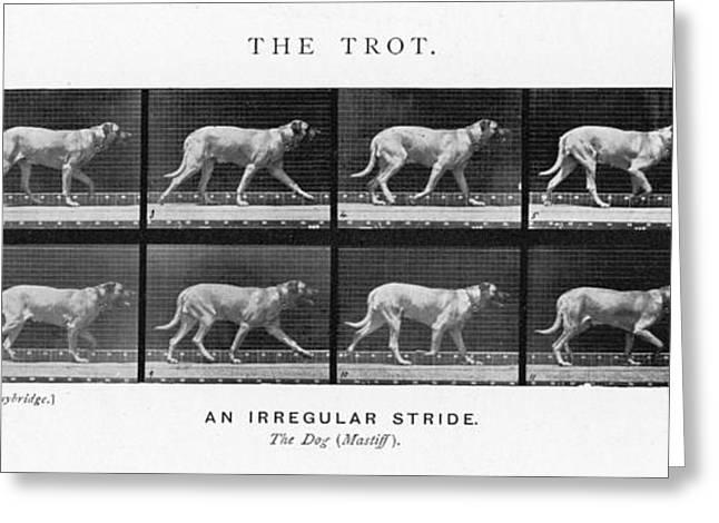 Dog (mastiff) Trotting  An Irregular Greeting Card