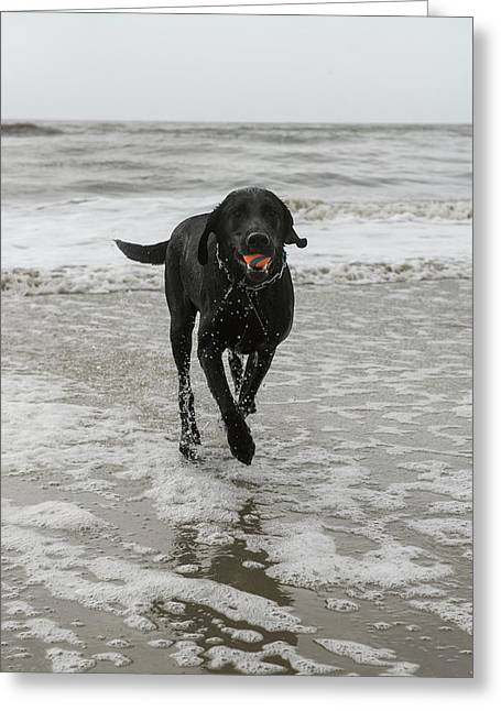 Dog On Beach, Little St Simon's Island Greeting Card by Pete Oxford