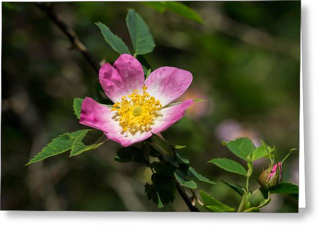 Greeting Card featuring the photograph Dog-rose by Leif Sohlman