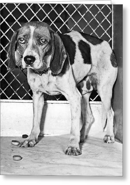 Dog Saved From Execution Greeting Card by Underwood Archives