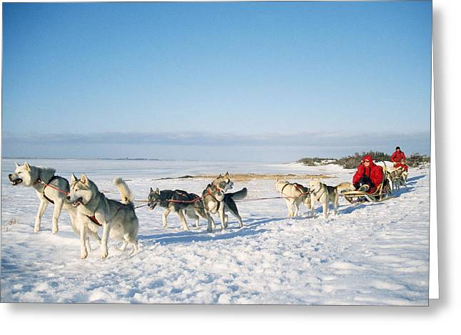 Dog-sledding With Huskies Greeting Card by Chris Martin Bahr