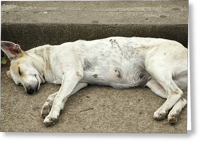 Dog Sleeping, Catarina, Masaya Greeting Card by Panoramic Images