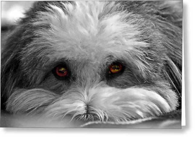 Coton Eyes Greeting Card by Keith Armstrong