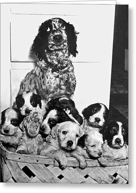 Dog With Twelve Puppies Greeting Card by Underwood Archives