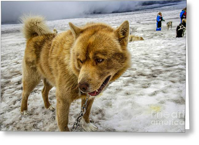 Dogsledding Dog Greeting Card by Patricia Hofmeester