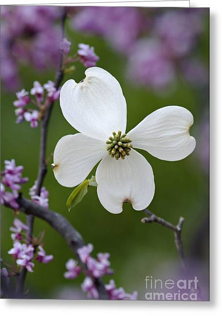 Dogwood And Redbud - D008979 Greeting Card by Daniel Dempster