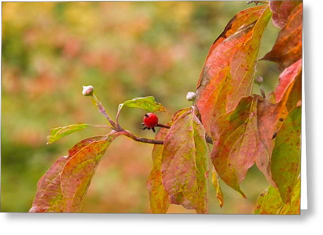 Greeting Card featuring the photograph Dogwood Berrie by Nick Kirby