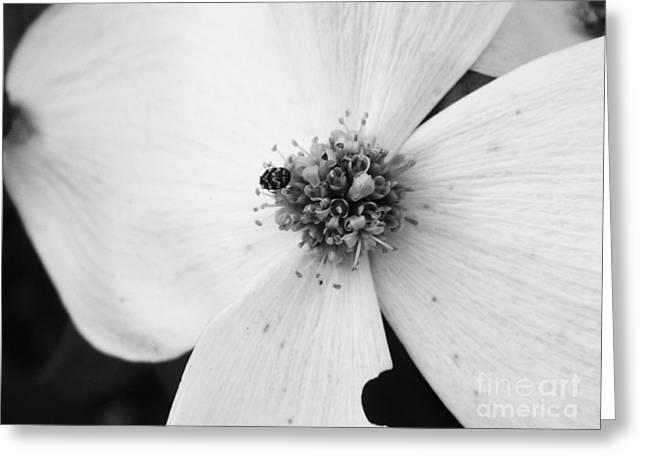Dogwood Black And White 2 Greeting Card