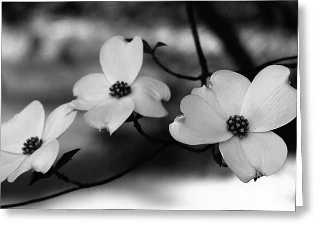 Dogwood Black And White Greeting Card