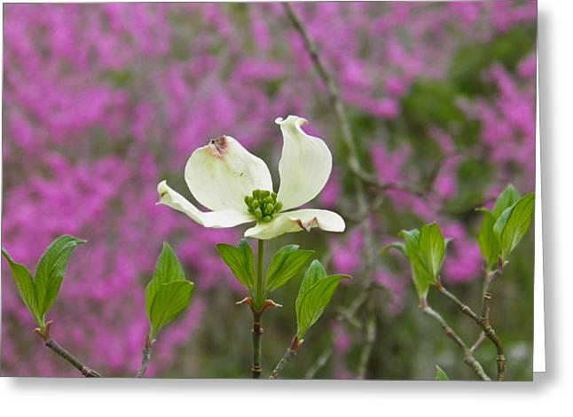 Dogwood Bloom Against A Redbud Greeting Card