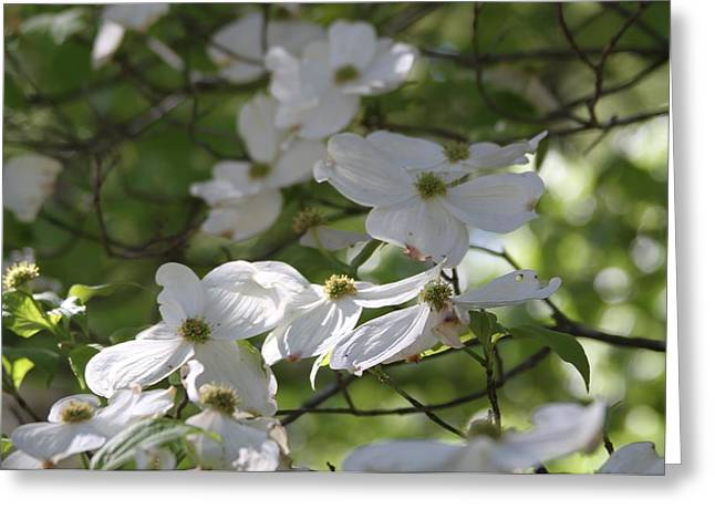 Dogwood Blossoms 3 Greeting Card