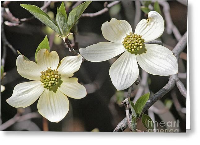 Dogwood Blossoms Greeting Card by Kenny Bosak